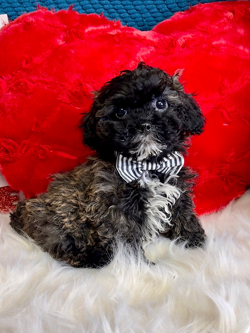 """Teddypoos,  """"Otto"""" (Gorgeous color & wise guy!)"""