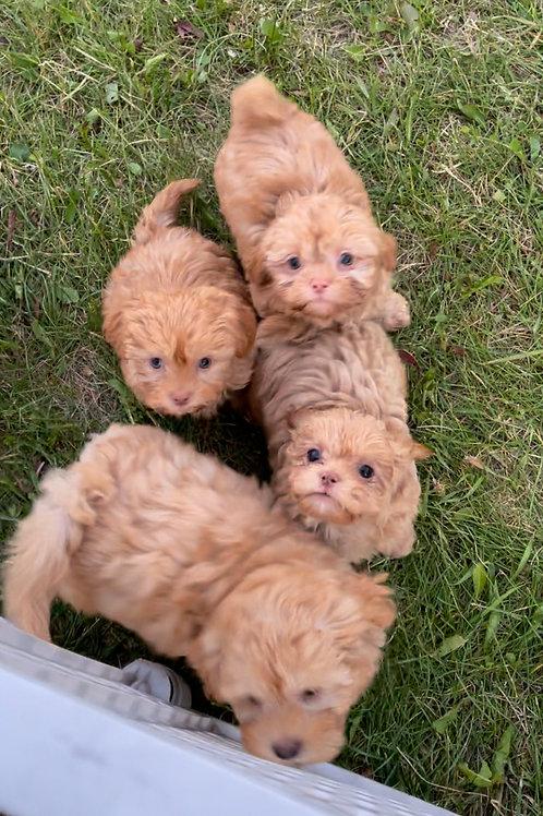 "Shipoo-poo ""Teddy Bears"" (Shihtzu/Poodle) we look like kittens!  lol"