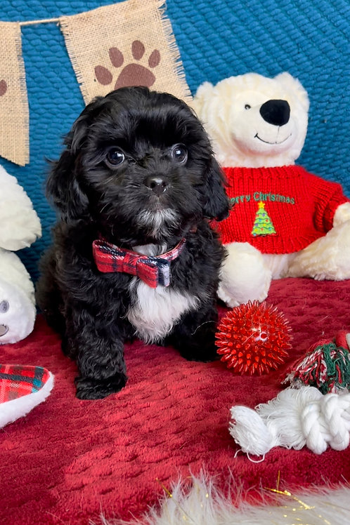 """Teddypoo, Male Teddy Bear/Poodle """"Magic"""" (Another litter available now to see)"""