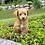 "Thumbnail: F1B Petite Goldendoodle, Female ""Jelly Bean"""