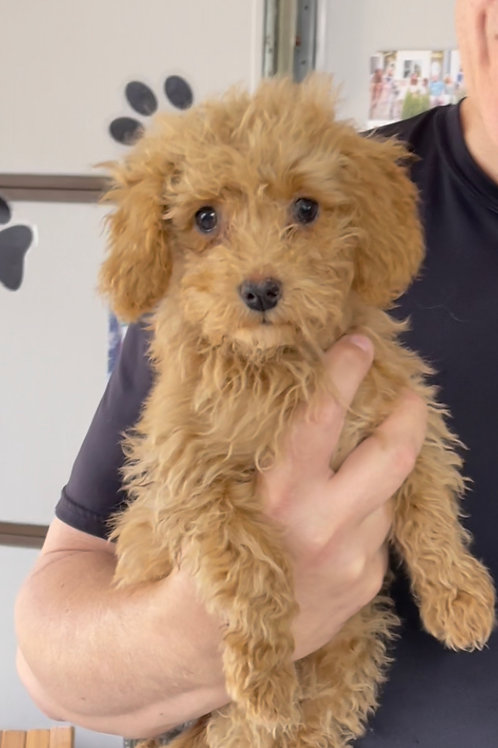 """Very petite/Toy F2BB Goldendoodle, Female, """"Pebbles"""" I was the runt."""