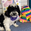 "Thumbnail: F1B Premium Mini Goldendoodle, Female ""Girlie Q"" Parents Weight 20-23 LBS"