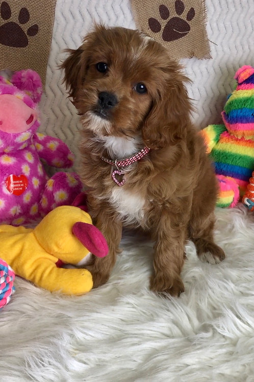 "F1 Cavapoo, Female ""Presley""   Ready for Picks!"