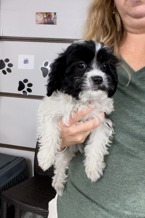 """F1 Cavapoo, Female """"Franchesca"""" Parents Weight 16 & 20 LBS"""