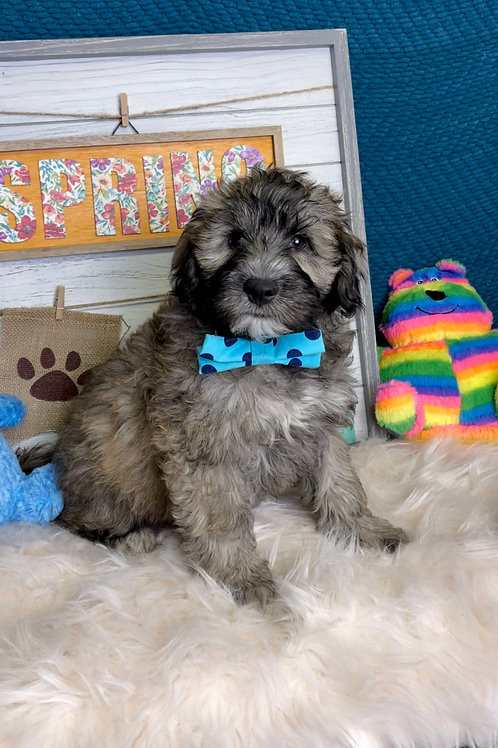 """Whoodle, (Wheaton/Poodle)Male """"Alfonso"""" (I am a huge cuddler!!  I am a lover!)"""