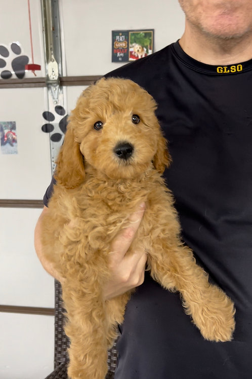 """F2BB MiniGoldendoodle, Male """"Clifford"""" Parents Weight: 28 & 29 LBS"""