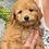 """Thumbnail: F2B Petite/Mini Goldendoodle, Smaller, Male """"Jonah'"""