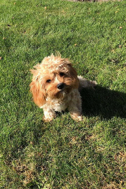 "Cavapoo, Female (Rescue situation) ""Lazy Daisy"""