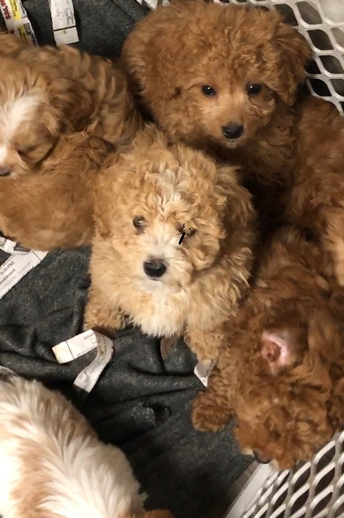 Shipoo-poo Teddy Bears,  Males....see above posts for better photos as well!