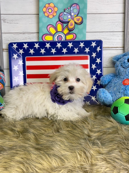"""Maltese, Male, """"Cotton Ball"""" will get under 9 lbs"""