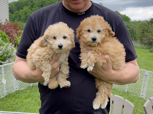 """F2B Goldendoodle/Cavapoo's, Two males """"Biscuit"""" & """"Twinkie"""""""