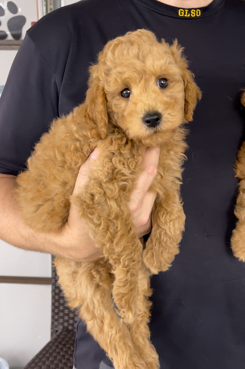 """F2BB Mini Goldendoodle, Male """"Apollo"""" Parents weight 28 &.29 lbs"""