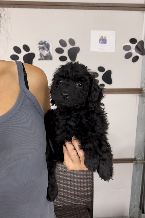"""F2BB Mini Goldendoodle, Male """"Bamboo"""" Parents Weight: 28 & 29 LBS"""