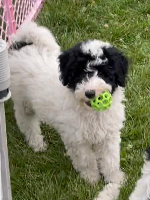 "F1B Mini Sheepadoodle, Male, ""Snoopy"" Wonderful Family dogs!"
