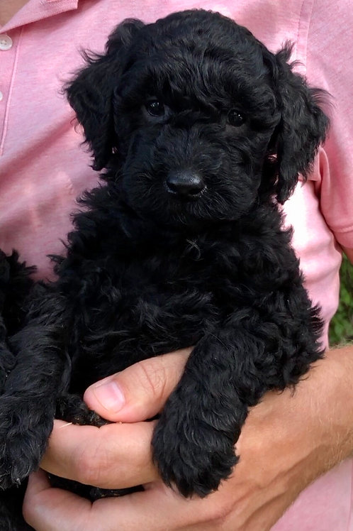 F2BB Mini Goldendoodle, Female ( Deposit with Kate M.& Gary D. )