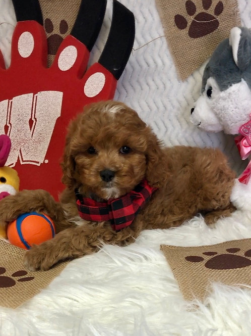"F1 Cavapoo, Male ""Corky""    Ready for picks!"