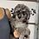 """Thumbnail: F2BB MiniGoldendoodle, Female """"Smurf"""" Parents Weight: 28 & 29 LBS"""