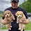 Thumbnail: Petite Goldendoodles/Cavapoo, Females #1 &  (#2 SOLD )