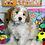 """Thumbnail: Mini Goldendoodle, Male """"Casper"""""""