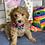 """Thumbnail: F1B Mini Goldendoodles, Female """"Cecilia"""""""
