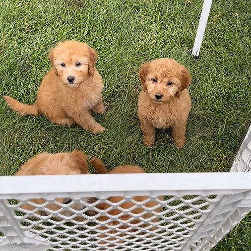 Petite to Mini Goldendoodles $2995-$3495, come visit!