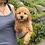"""Thumbnail: Mini Goldendoodle, Female,""""Gracie"""" ( Deposit w/Rachel L. )"""