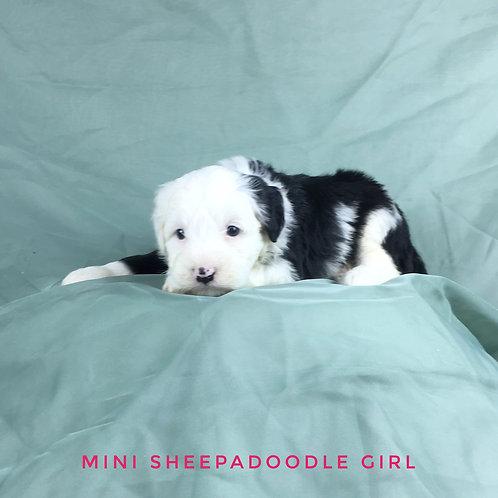 F1 Mini Sheepadoodles, Two boys & a female! CLICK ON PHOTO!!