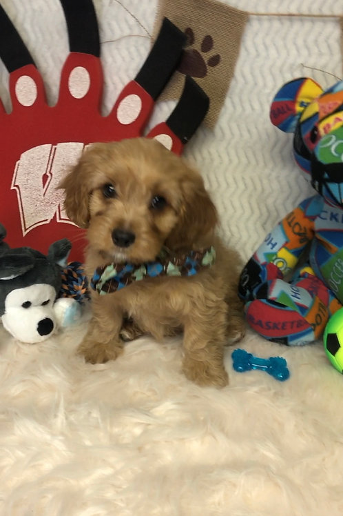 "F1 Cavapoo, Male ""Henry""    *Ready for Picks"""