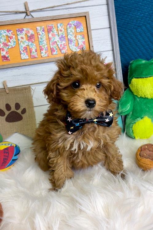 "F1B Petite/Mini Goldendoodle, Male ""Quinn"""