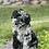 "Thumbnail: F1B Sheepadoodle, Female ""Etta"" ( Rare Color )"