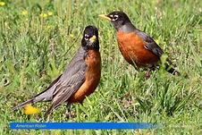 American Robin-1.jpg