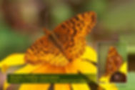 16 MEADOW FRITILLARY.jpg