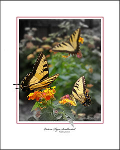 EASTERN TIGER SWALLOWTAIL-2-E.jpg