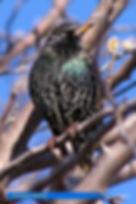 Starling-1.jpg