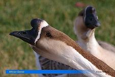 African Geese-1.jpg