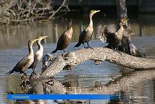 Cormorants-2.jpg