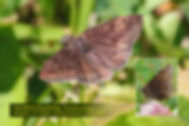47 NORTHERN CLOUDYWING.jpg