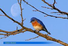 Eastern Bluebird-2.jpg