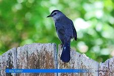 Gray Catbird-2.jpg