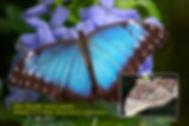 58 BLUE MORPHO.jpg