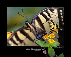EASTERN TIGER SWALLOWTAIL-5-E.jpg