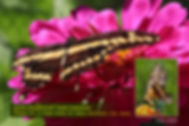 06 GIANT SWALLOWTAIL.jpg