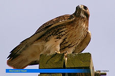 Red-tailed hawk.jpg