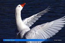 Embden Goose-2.jpg