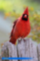 Cardinal-2.jpg