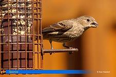 Sparrow-2.jpg