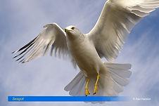 Seagull-3.jpg