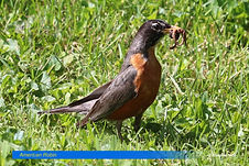 American Robin-2.jpg