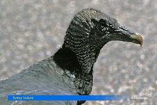 Turkey Vulture-1.jpg