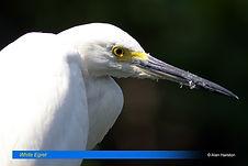 White egret-1.jpg